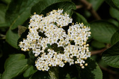 Wayfaring Tree ( Viburnum lantana ) - Bloom. Young bloom of the wayfaring tree ( viburnum lantana stock images