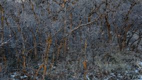 Scrub Oak trees in winter with red lichen and snow on the ground. Snow on ground small scrub oak trees in winter, leafless stock photography