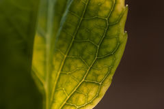 The ways of Lymph. Detail of veins on a leaf in spring. Spectacular detail of a leaf and its smaller veins Stock Photography
