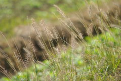 Wayside grass. Along the ridge of the fields Royalty Free Stock Photos