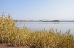 Wayside reedy lake shore in sunny winter afternoon. Chengdu,China royalty free stock photos