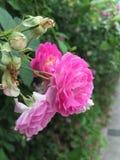 Wayside Rose Royalty Free Stock Photography