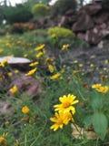 Waysids blomma Arkivfoton