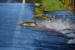 Wayward salmon. Northwest salmon get stranded after high river and make attempts at crossing road Stock Photography