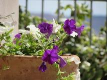 Waza z białymi kwiatami i purpurami Zdjęcie Royalty Free