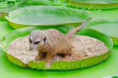 WC de Meerkats Imagen de archivo libre de regalías