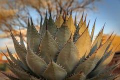 Wciąż życie agawy plantwith dosyć wzór wzdłuż długości szerocy liście z długimi cierniami Zdjęcie Royalty Free