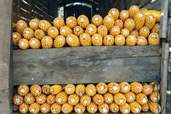 Wciąż życie kukurydza ucho w horreo w Galicia Hiszpania Zdjęcia Royalty Free