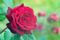 Wciąż życie piękne czerwone róże Рoses na zielonym tle w ogródzie różanym, zdjęcia stock