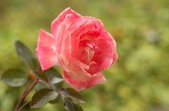 Wciąż życie piękne różowe róże zdjęcie stock