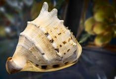 Wciąż życie: piękny seashell na stole Zdjęcie Stock