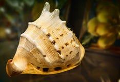 Wciąż życie: piękny seashell na stole Obrazy Stock