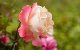 Wciąż życie tło piękne różowe róże fotografia royalty free