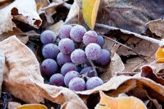 Wciąż życie - wiązka dojrzali winogrona kłama na ulistnieniu zakrywającym z hoarfrost obraz stock