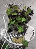 Wciąż życie z antykwarskim krzesłem, winogronami i winogradami Obraz Royalty Free