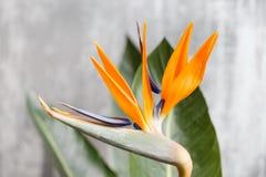 Wciąż życie z pomarańczowym kwiatem Strelitzia Reginae - ptak raj Rocznika popielaty tło Pomarańczowy koloru pączek i Obrazy Royalty Free