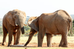 Wciąż chcę wodnego - afrykanina Bush słoń Zdjęcie Royalty Free