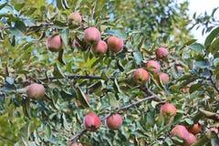 Wcześni dojrzali jabłka na jabłku obraz stock