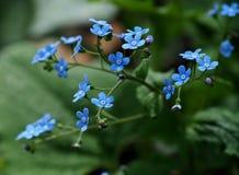 Wcześni wiosen menchii kwiaty Zapominają Ja Nie Fotografia Stock