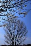 Wcześni wiosen drzewa Zdjęcie Stock