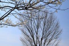 Wcześni wiosen drzewa Obrazy Royalty Free