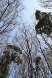 Wcześni wiosen drzewa Zdjęcie Royalty Free