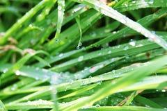 wcześnie rano trawy rosy fotografia stock