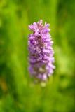 Wczesna orchidea (Dactylorhiza incarnata) Zdjęcie Royalty Free