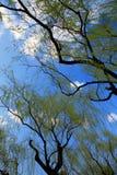 wczesna spring willow Zdjęcie Royalty Free