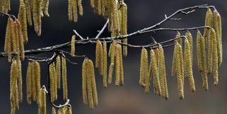 Wczesna wiosna kwitnie leszczyny bush_3 obraz royalty free