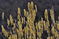 Wczesna wiosna kwitnie leszczyny bush_4 zdjęcia royalty free