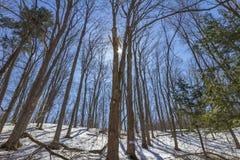 Wczesna wiosna przy klonowymi drzewami lasowymi Obrazy Royalty Free