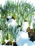 wczesna wiosna trawy Obraz Royalty Free