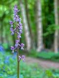 wczesne storczykowe purpurowy Zdjęcie Royalty Free