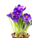 Wczesny wiosna kwiatu krokus dla wielkanocy zdjęcia royalty free