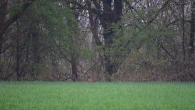 Wczesnego poranku bażant wynikał forestAnd boi się drapieżniki iść przez pole zbiory wideo
