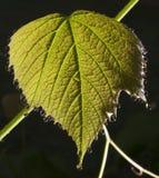 Wczesnego poranku winogrona liść Zdjęcia Stock
