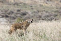 Wczesnego poranku wycie kojotem fotografia royalty free