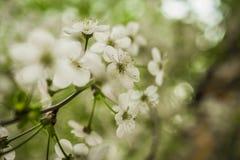 Wczesnej wiosny kwiatonośna wiśnia piękne kwiaty, białe obrazy stock