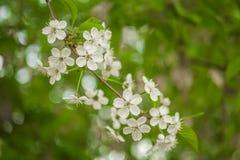 Wczesnej wiosny kwiatonośna wiśnia piękne kwiaty, białe zdjęcia royalty free