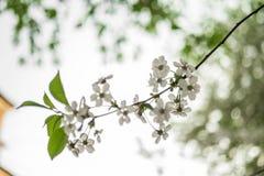 Wczesnej wiosny kwiatonośna wiśnia piękne kwiaty, białe zdjęcie stock