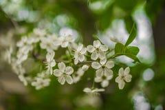 Wczesnej wiosny kwiatonośna wiśnia piękne kwiaty, białe zdjęcia stock