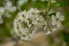 Wczesnej wiosny kwiatonośna wiśnia piękne kwiaty, białe obrazy royalty free
