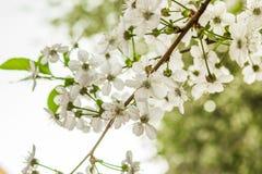 Wczesnej wiosny kwiatonośna wiśnia piękne kwiaty, białe fotografia royalty free