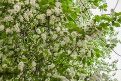 Wczesnej wiosny kwiatonośna wiśnia piękne kwiaty, białe obraz stock