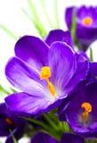 Wczesny wiosen purpur krokus fotografia stock