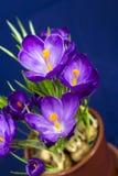 Wczesnej wiosny purpurowy krokus w garnku obrazy stock