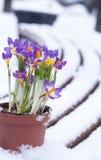 Wczesnej wiosny purpurowy krokus w śniegu fotografia stock
