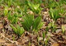 Wczesnej wiosny zielona trawa Obraz Royalty Free