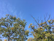 Wczesny jesień las w górę widoku na drzewach, niebieskie niebo Fotografia Stock